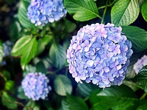 photo plant flower hydrangea flowers rainy season
