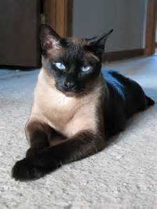 siamese cat rescue siamese cat available for adoption in new paw