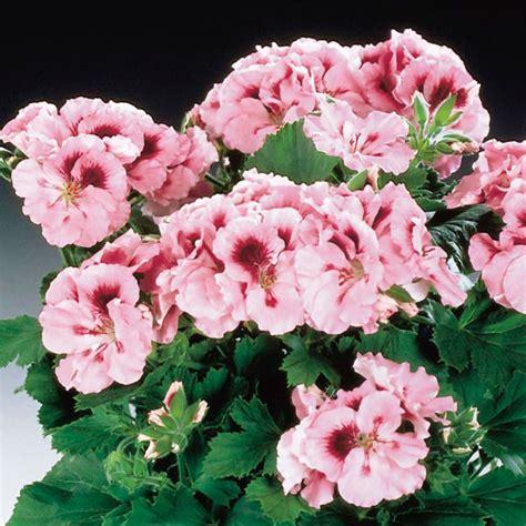care of pelargoniums regal geranium martha washington geranium indoors pelargonium x domesticum my garden life