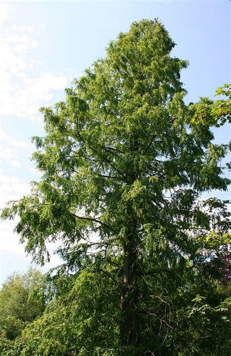 metasequoia wikispecies