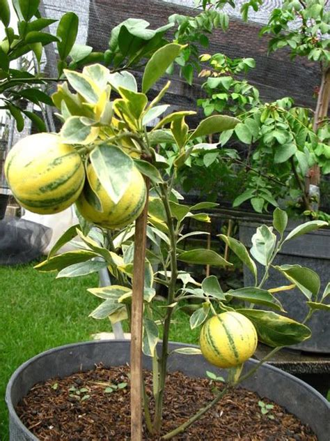 fruit in pot 10 best images about fruit in pot on bags honey and india
