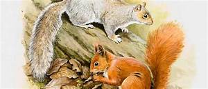What Do You Have To Offer Why Do Red And Grey Squirrels Not Interbreed Bbc