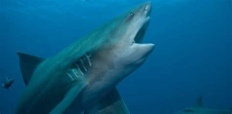 les requins coulent dans l eau douce sciencesetavenir fr