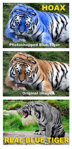 fake  top image  pinned   blue maltese tiger