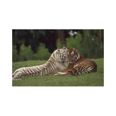 Bengal Tiger - My Pakistan