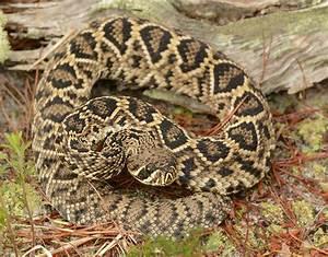 Images  Eastern Diamondback Rattlesnake
