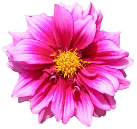 Flower No Background Flower No Background Clipart Clipart Suggest