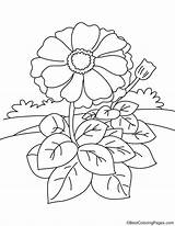 Zinnia Coloring Flower Pages Leaves Many Printable Getcolorings sketch template