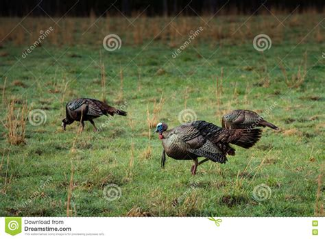 Hunting For Turkey Vector Illustration