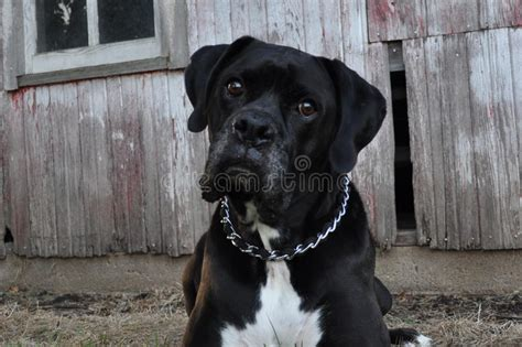 Black Boxer Dog And Country Barn Stock Photo