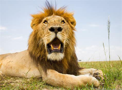 hot lion burrard lucas photography