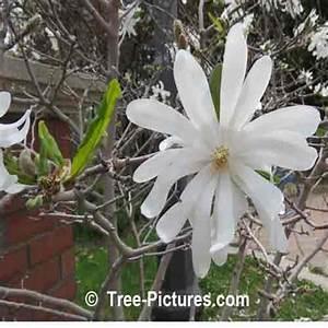 Fleur De Magnolia : fleur de magnolia photos photos de fleurs de magnolia ~ Melissatoandfro.com Idées de Décoration