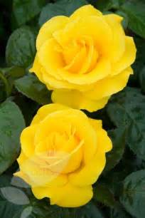 Lemon Yellow Hybrid Tea Roses