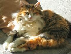 Calico Cat fluffy ...Fluffy Dilute Calico Cat