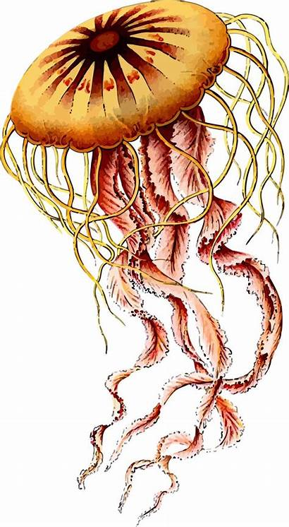 Jellyfish Transparent Haeckel Ernst Sea Natural Form