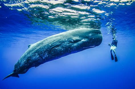 fantastic sperm whale  diver photo    real