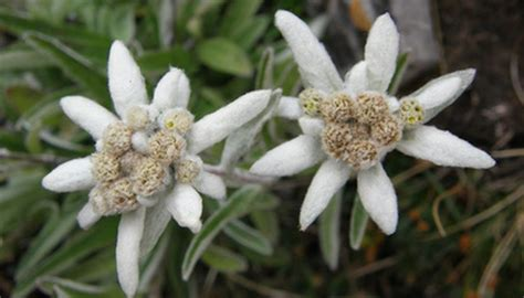 care  edelweiss plants garden guides