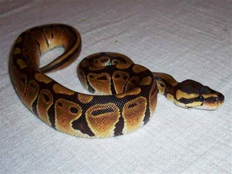 Python Shedding Signs by Spare Gerbils Page 2 Reptile Forums