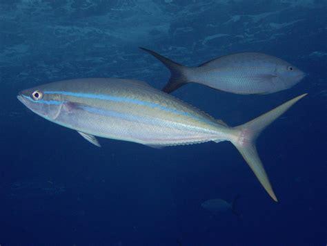 fish identification rainbow runnerrainbow yellowtail