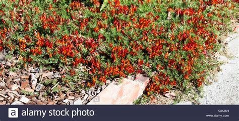 Rot Und Orange Lotus Pflanze Lotus Maculatus Ist Eine