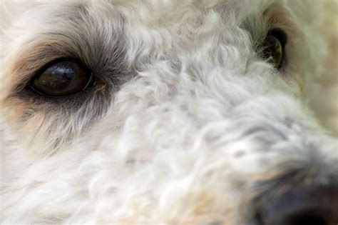 poodle eyes animal insect  ojos abiertos