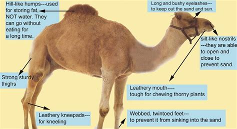 parts   camel adapted  desert survival  love