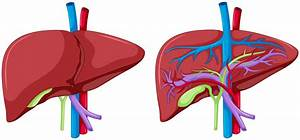 Two Diagram Of Liver Anatomy
