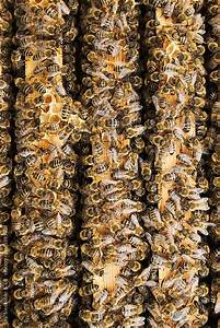 Bees Work On Honeycomb By Urs Siedentop  U0026 Co