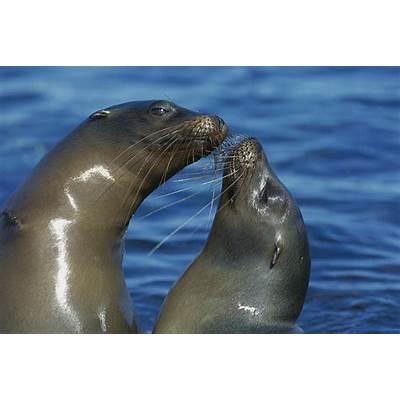 Galapagos Sea Lion Zalophus Wollebaeki Photograph by Tui