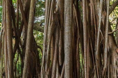 gummibaum im freien die luftwurzeln vom gummibaum 187 wissenswertes