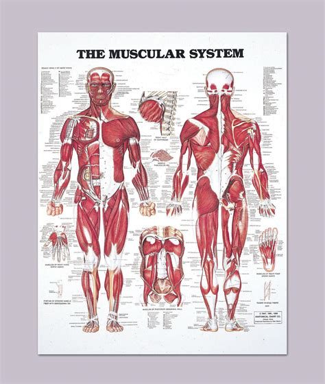 The muscular system is made up of specialized cells called muscle fibers. Human Muscles Diagram : human-leg-muscles-diagram | Anatomy for Artists ... - The muscles that ...