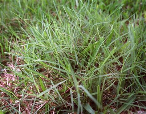 how many kinds of grass are there best 25 types of grass ideas on pinterest ornamental grass landscape types of lawn grass and