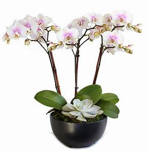 Phalaenopsis Orchids Indoor Flowers Plant Care