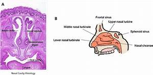 The Anatomy Of The Human Nasal Cavity   A  Histological Section Of