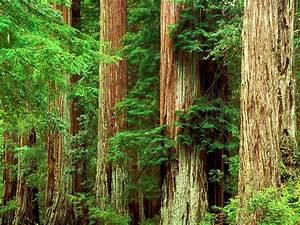 Desktop Wallpaper Big Basin Redwoods Park California
