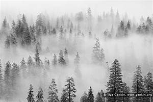 Pine Trees in Clouds After a Snow Storm, Yosemite Valley ...
