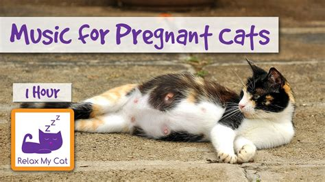 pregnant cats   give birth  kittens