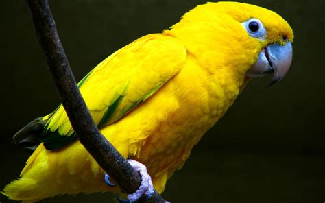 yellow parakeet all wallpapers yellow parrots