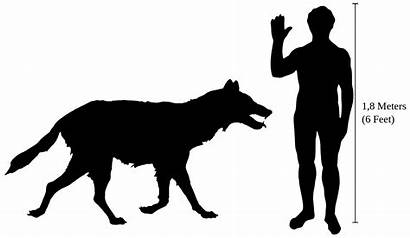 Canis Dirus Dire Wolf Thrones Human Labrador