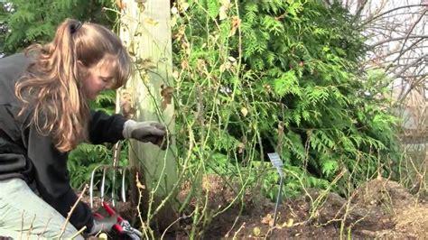pruning climbing roses winter pruning climbing roses youtube