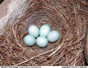 House Finch Eggs