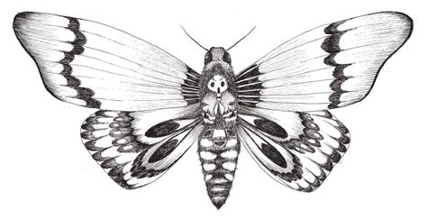 dessin dun papillon sphinx tete de mort drawing