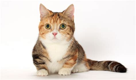 Munchkin Cat Breed Information