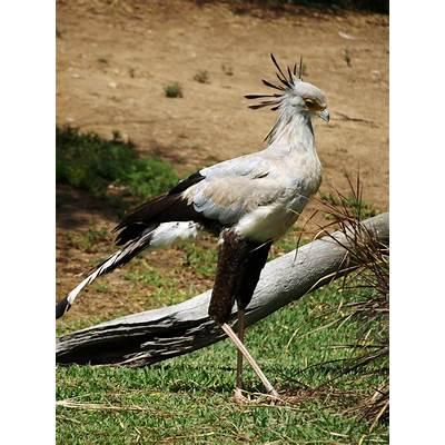 Killer Legs (of Secretary Birds)Magpie's Miscellany