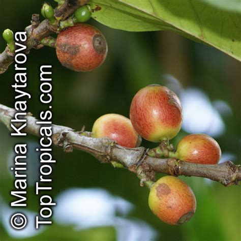 Buy or sell something today! Coffea dewevrei, Coffea liberica var. dewevrei, Coffea excelsa , Excelsa Coffee - TopTropicals.com