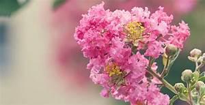 Taille Des Althéas : la taille des arbustes floraison estivale quand et comment promesse de fleurs ~ Nature-et-papiers.com Idées de Décoration