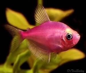 Kunstmatig gekleurde vissen is renmishandeling