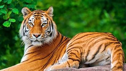 Animals Tiger Nature Cats Wallpapers Desktop Backgrounds