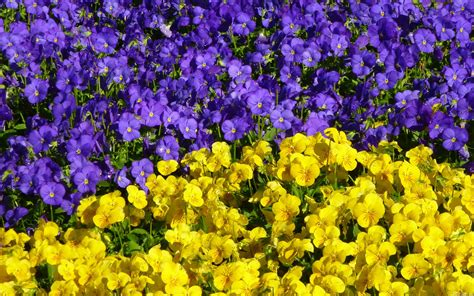 Mlewallpaperscom  Purple And Yellow Violas
