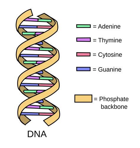 dna structure diagram labeled www pixshark com images